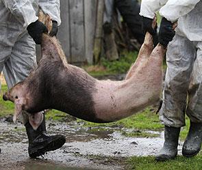 """Результат пошуку зображень за запитом """"мертві свині"""""""